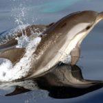 Sos cetacei: Stenella striata